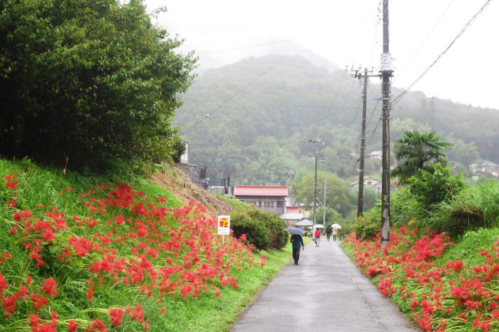 埼玉|500萬株紅色絨毯!日高市「巾着田.曼珠沙華公園」