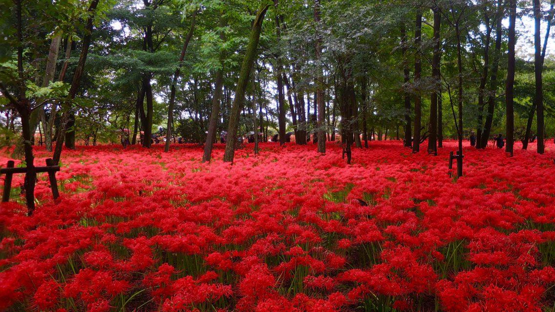 埼玉 500萬株紅色絨毯!日高市「巾着田.曼珠沙華公園」