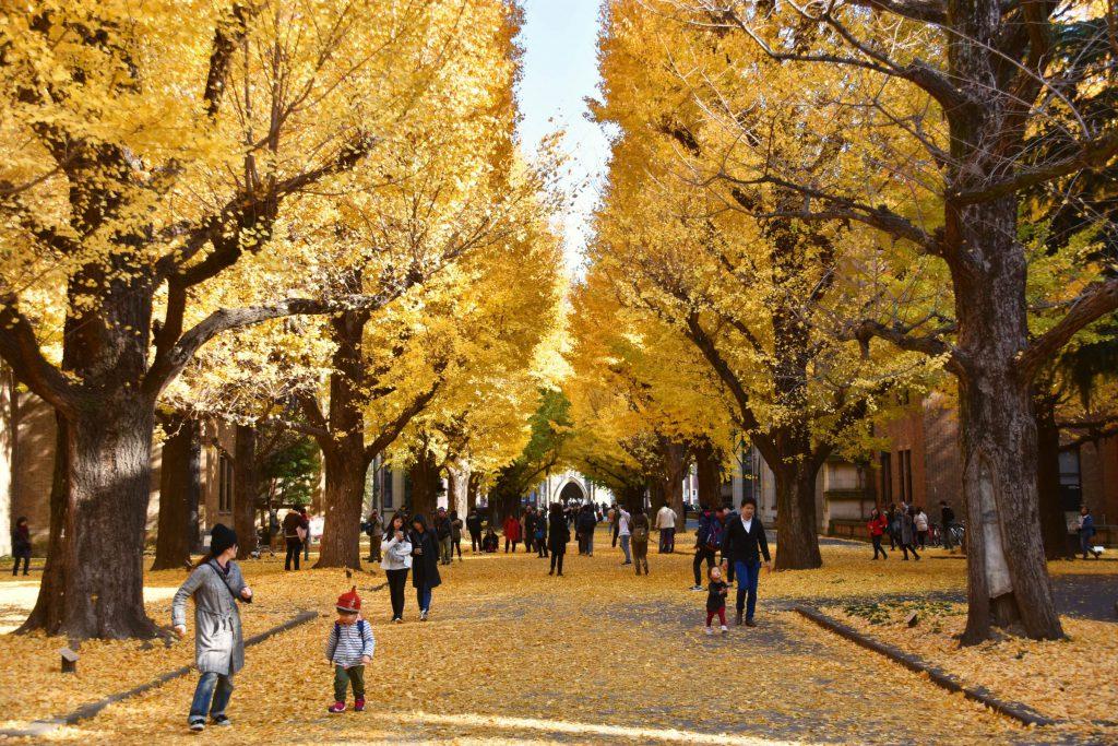 2018秋季必訪金黃色的絨毯!東京都內銀杏私藏景點9選 東京大學
