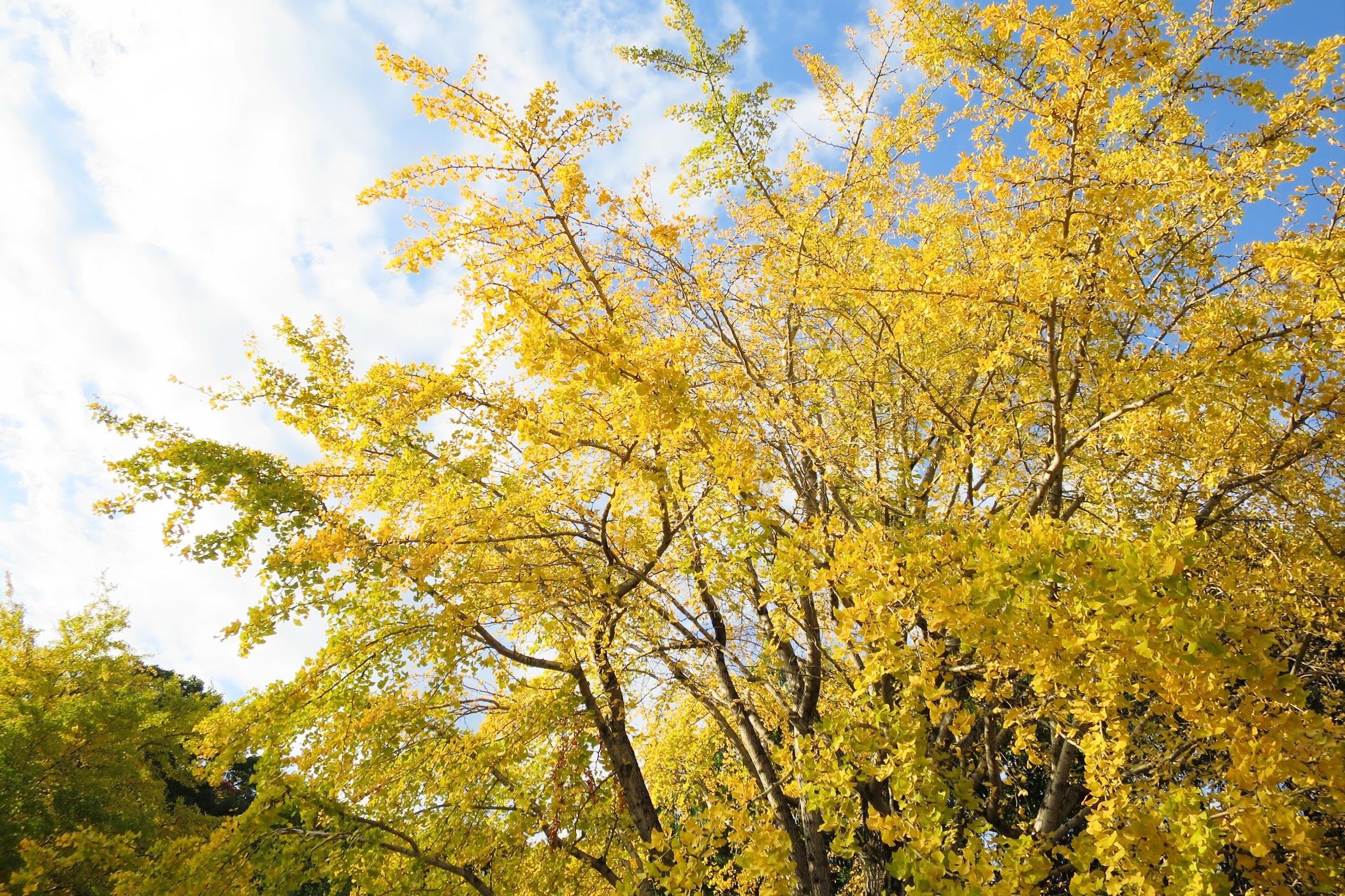 2019秋季必訪金黃色的絨毯!東京都內銀杏私藏景點11選 田園調布 銀杏並木