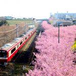 【東京近郊櫻花】三浦海岸鐵道+河津櫻+油菜花!滿開時間交通方式介紹