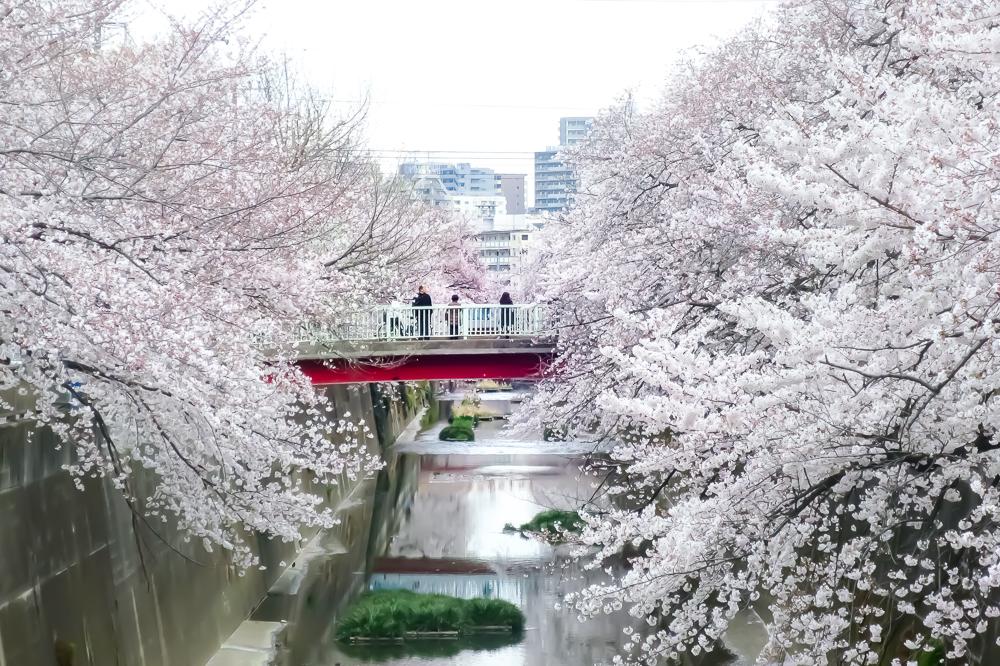 【東京私藏賞櫻景點】板橋石神井川!超過1,000棵櫻花並木