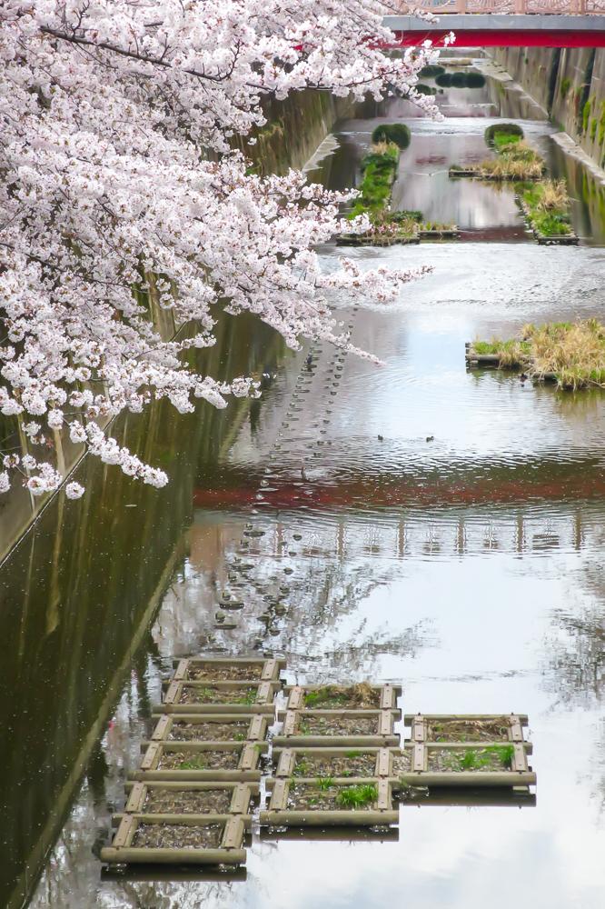 【【東京私藏賞櫻景點】板橋十景石神井川!超過1,000棵櫻花並木
