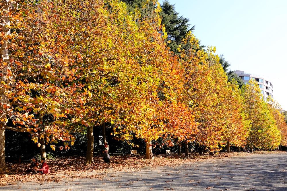 新宿御苑 法式庭園梧桐樹