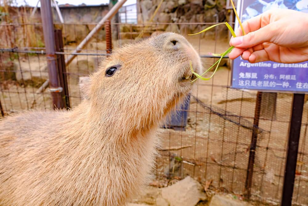 伊豆仙人掌動物公園 水豚君