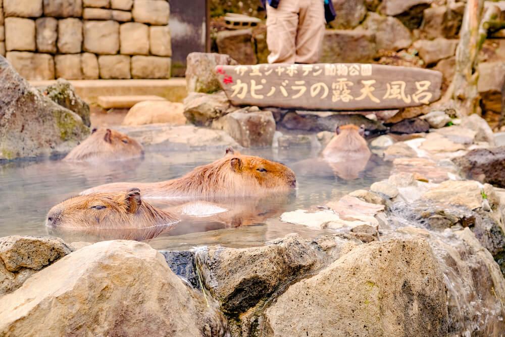 伊豆仙人掌動物公園 一年一度水豚君泡澡比賽