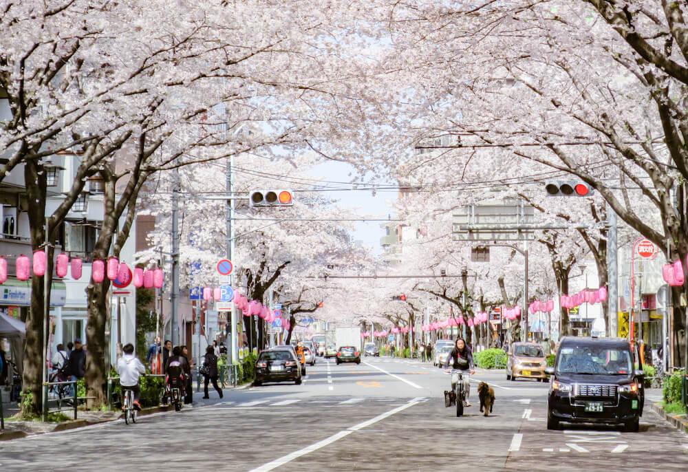 中野通櫻花大道