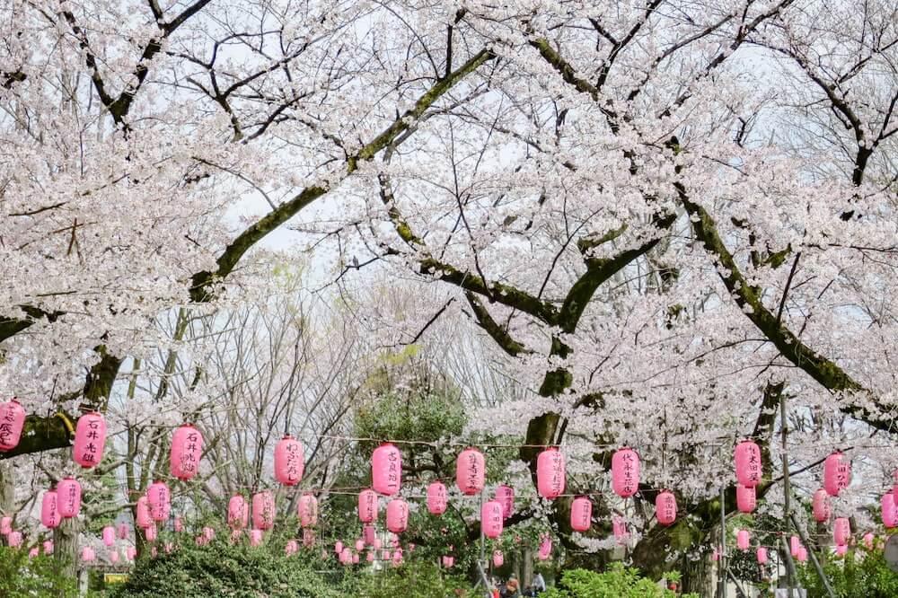 中野通櫻花大道 滿開櫻花