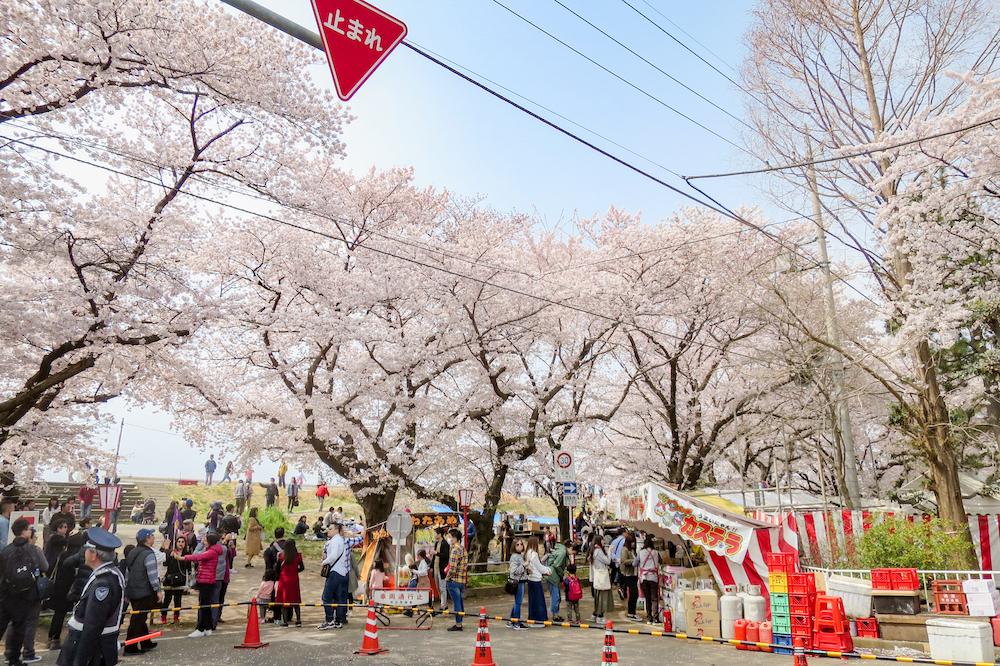 日本櫻花名所百選・埼玉「熊谷櫻堤」春季櫻花祭典