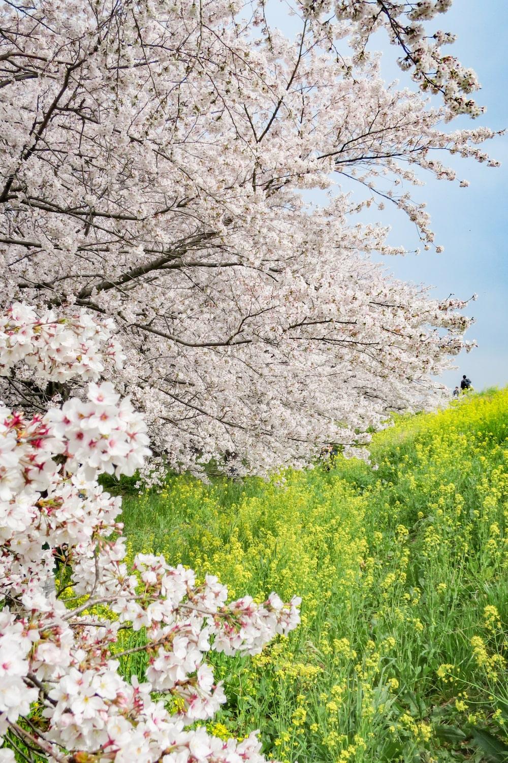 日本櫻花名所百選・埼玉「熊谷櫻堤」一整面櫻花與油菜花