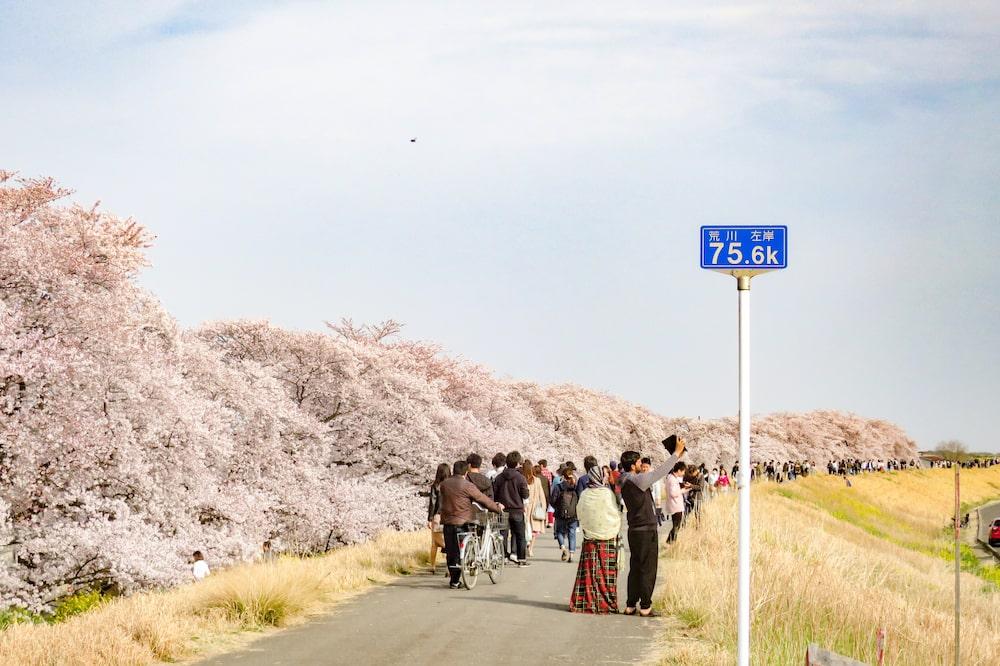 日本櫻花名所百選・埼玉「熊谷櫻堤」一整面櫻花