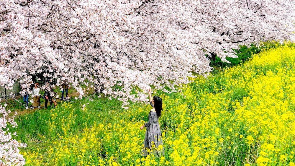 日本櫻花名所百選・埼玉「熊谷櫻堤」綿延2公里粉白色櫻花與金黃色油菜花