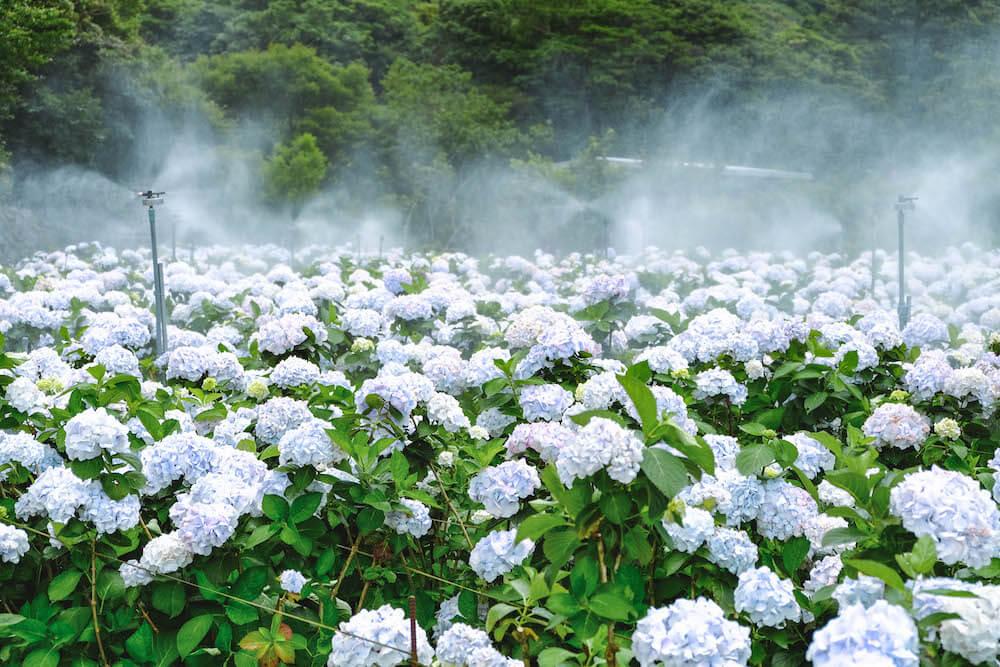 竹子湖繡球花景點|大梯田花卉生態農園&大賞園繡球海芋田