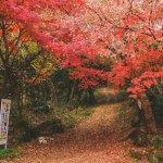 神奈川小旅行・湯河原溫泉「池峯もみじの郷」,走訪540棵晚秋楓紅美景
